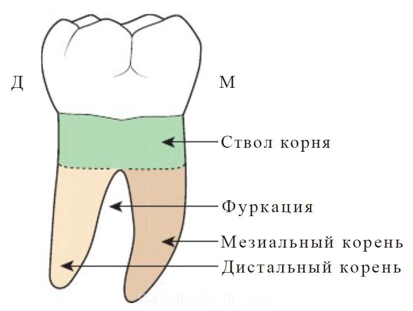 Бифуркация в стоматологии